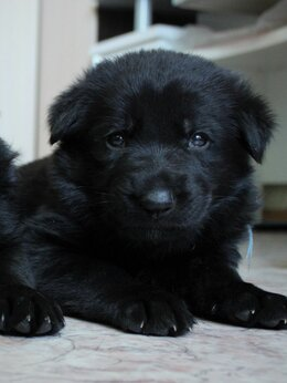 Собаки - В продаже щенки черной немецкой овчарки, 0