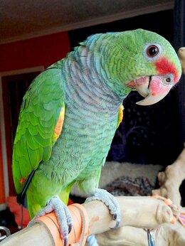Птицы - Винногрудый амазон (Amazona vinacea) - ручные…, 0