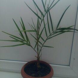 Комнатные растения - Финиковая пальма, 0