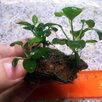 Жестколистное аквариумное растение Анубиас Нана на лаве по цене 500₽ - Растения для аквариумов и террариумов, фото 3