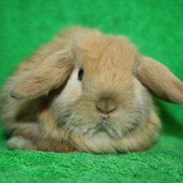 Кролики - Карликовые кролики породистые, 0