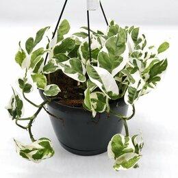 Комнатные растения - Эпипремнум вариегатный, 0