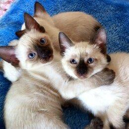 Кошки - Тайские котята, 0