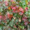 Герань садовая. по цене 100150₽ - Рассада, саженцы, кустарники, деревья, фото 0