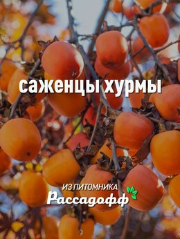 Рассада, саженцы, кустарники, деревья - Саженцы хурмы 2 годовалые, 0