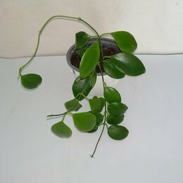 Комнатные растения - Хойи, 0