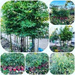 Рассада, саженцы, кустарники, деревья - Саженцы бамбука. , 0