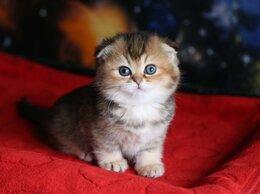 Кошки - котята золотой шиншиллы, 0