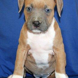 Собаки - Американский стаффордширский терьер,  щенки, 0