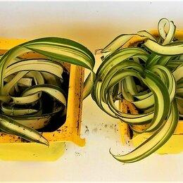 Комнатные растения - Хлорофитум кудрявый. Комнатный цветок., 0