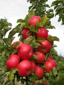 Рассада, саженцы, кустарники, деревья - яблоня Триумф и др. сорта, 0