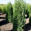 Туи Смаргд  по цене 3000₽ - Рассада, саженцы, кустарники, деревья, фото 4