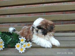 Собаки - Щенок ши-тцу, 0