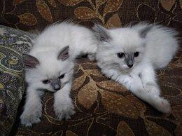 Кошки - Невские маскарадные котята, 0