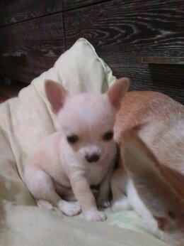 Собаки - Щенки чихуахуа мини!, 0