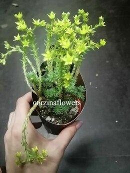 Комнатные растения - Седум мультицепс, очиток многоголовый, 0