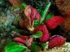 Растения для аквариумов и террариумов - Хемиграфис цветной (Hemigraphis colorata), 0