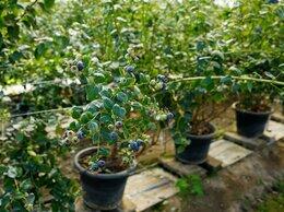 Рассада, саженцы, кустарники, деревья - Черника садовая саженцы, 0