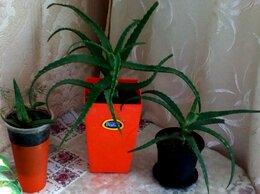 Комнатные растения - алое лечебное, 0