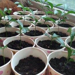 Рассада, саженцы, кустарники, деревья - Рассадв мандаринок, 0