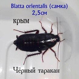 Корма  - Кормовой чёрный таракан для пауков, рептилий и т.д., 0
