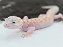 Рептилии - Эублефар Дрим Вайт самка (16.05.20), 0