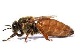 Сельскохозяйственные животные - Пчеломатки - Пчелиные матки, 0