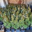 Саженцы туи смарагд дешевле чем в леруа по цене 270₽ - Рассада, саженцы, кустарники, деревья, фото 1