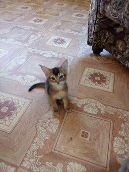 Кошки - Абиссинцы, 0