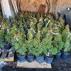 Саженцы туи смарагд дешевле чем в леруа по цене 270₽ - Рассада, саженцы, кустарники, деревья, фото 2