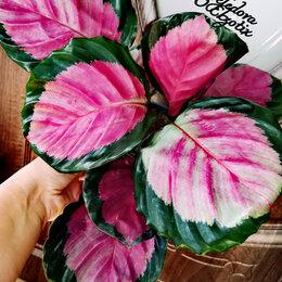 Комнатные растения - Шикарные КАЛАТЕИ размера XXXL🤩💓👌, 0