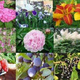 Рассада, саженцы, кустарники, деревья - Многолетние садовые растения, 0