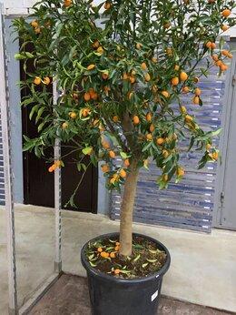 Комнатные растения - Кумкват дерево с плодами H 200 см, 0