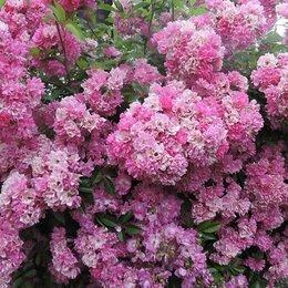 """Рассада, саженцы, кустарники, деревья - Плетистые розы без шипов """"Вартбург""""., 0"""