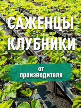 Рассада, саженцы, кустарники, деревья - Рассада ремонтантной клубники, 0