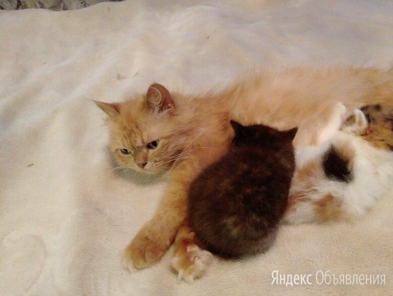 Отдам в хорошие руки котенок от перса и шатландской вислоухой 1,5 мес по цене 350₽ - Кошки, фото 0