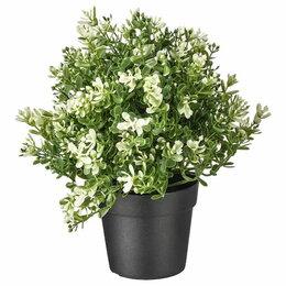 Комнатные растения - Фейка Чабрец 90 мм, 0