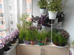 Комнатные растения - Камыш поникающий, 0