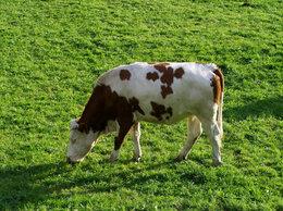 Сельскохозяйственные животные - Корова первотёлка и тёлка(5 месяцев), 0
