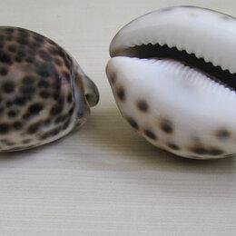 Декорации для аквариумов и террариумов - Ракушка Cypraea tigris -Ципрея Тигрис . , 0