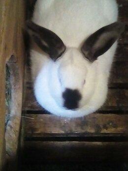 Кролики - продаю калифорнийских кроликов и мясо кролика, 0