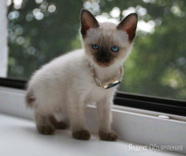Меконгский бобтейл по цене 12000₽ - Кошки, фото 0