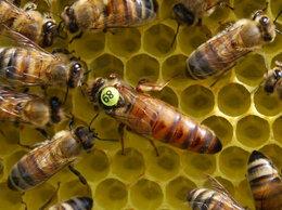 Сельскохозяйственные животные - Добрая Пасека мед.  Пчеломатки плодные Бакфаст…, 0