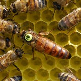 Сельскохозяйственные животные и птицы - Добрая Пасека мед.  Пчеломатки плодные Бакфаст F1. Без предоплаты, 0