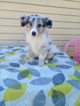 Собаки - Щенки Аусси,австралийская овчарка., 0