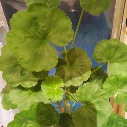 Комнатные растения - герань пеларгония , 0