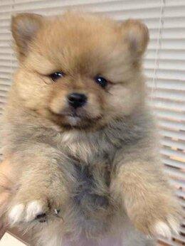 Собаки - Породные и красивые щенки Шпиц., 0