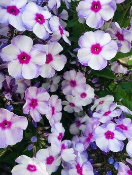 Рассада, саженцы, кустарники, деревья - Флокс сиреневый с лиловой серединкой, 0