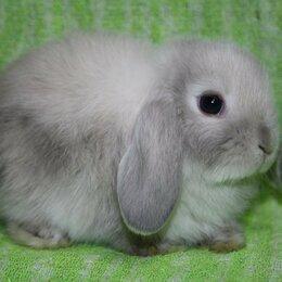 Кролики - Карлики кролики - миноры и  вислоухие, 0