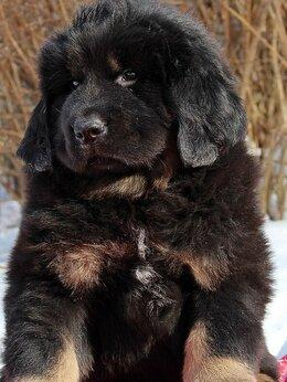 Собаки - Щенки Тибетского мастифа, 0